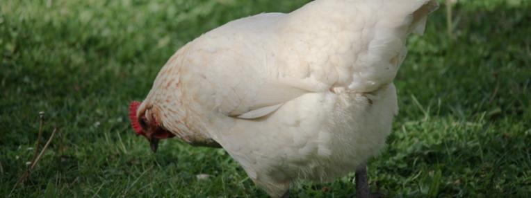 poule 2 (1 sur 1).jpg