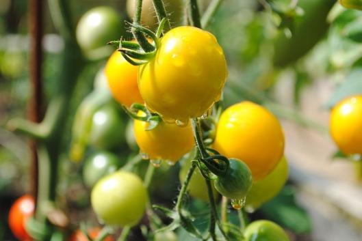 tomato-1492144_960_720